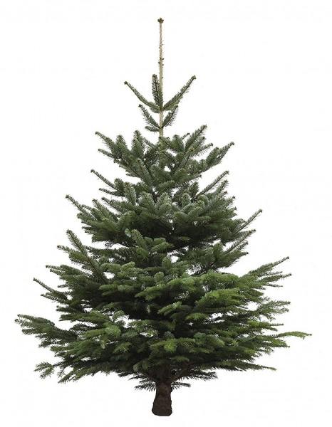 Echter Weihnachtsbaum Nordmanntanne, Höhe ca. 80 - 100 cm, Premiumqualität, frisch geschlagen